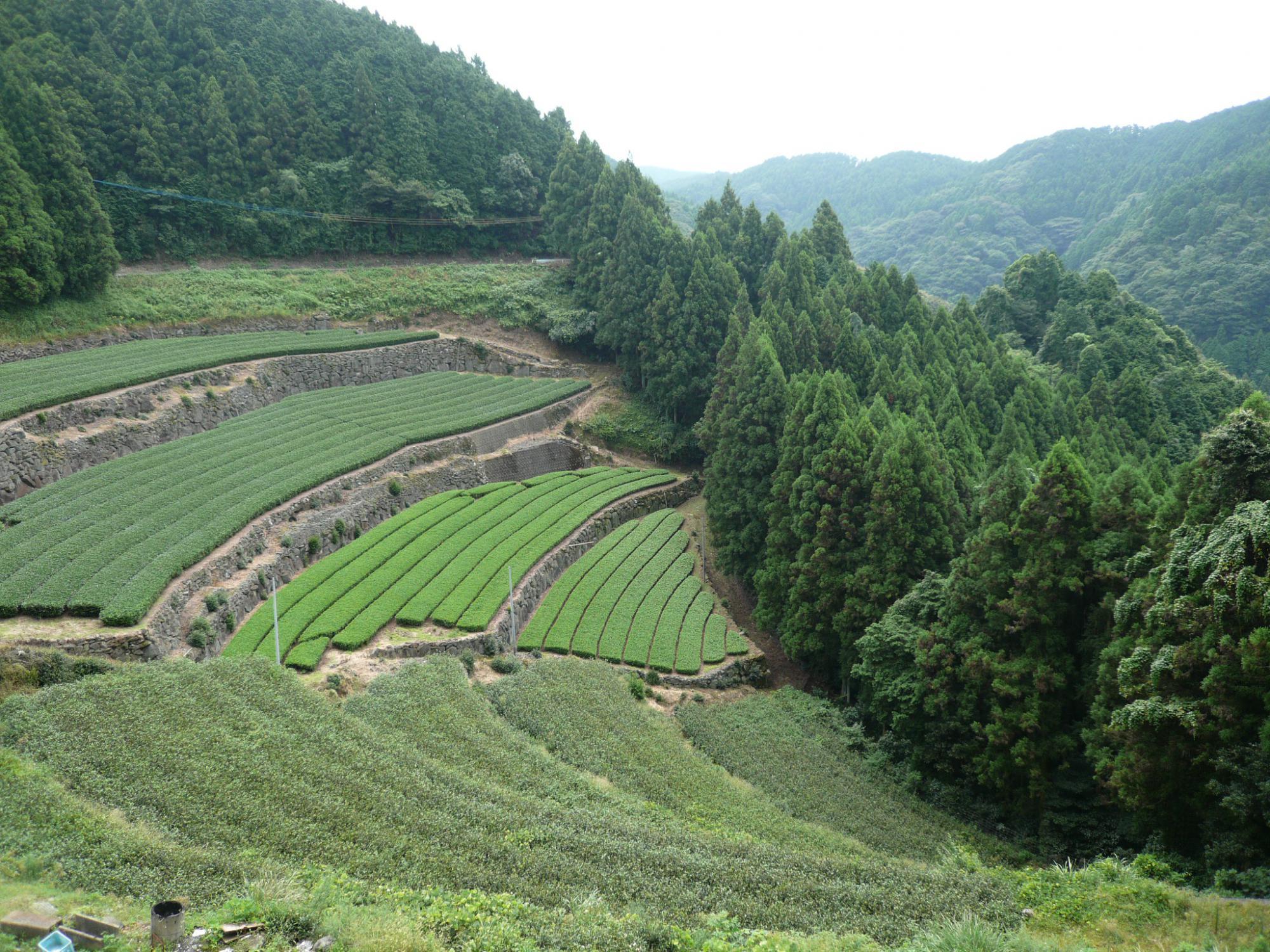 Plantation de thé vert japonais