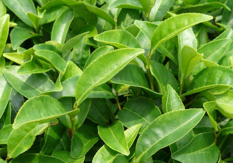 Théier : feuilles de thé