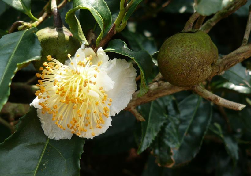 Fleur et fruit du théier