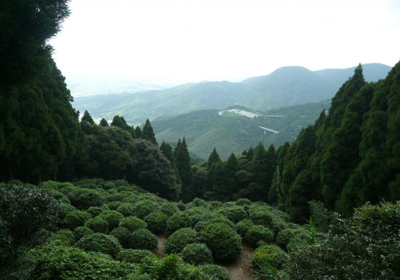 Plus ancienne plantation historique de thé au Japon - Moine Yosai